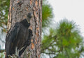 A black vulture coragyps atratus in a tree at McGough Nature Park in Largo, Florida. Royalty Free Stock Photo
