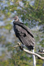 Black Vulture (Coragyps atratusz) Royalty Free Stock Photo
