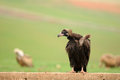 Black vulture griffon on the wall Stock Photos