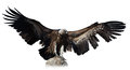 Black vulture Royalty Free Stock Photo