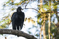 Black Vulture Perched on Tree Branch Royalty Free Stock Photo