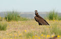 Black vulture perches among flowers Royalty Free Stock Photo