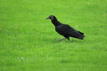 Black vulture the strolling on the grass Stock Image