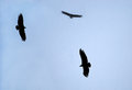 Black vultures flying in circles Stock Photos