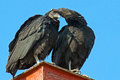 Black vultures a pair of showing affection Royalty Free Stock Photos