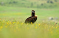 Black vultures scavenging among flowers in spring Royalty Free Stock Photo