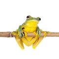 Black-webbed flying tree frog isolated on white Royalty Free Stock Photo