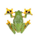 Black-webbed flying tree frog isolated on white Royalty Free Stock Photo