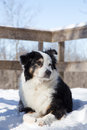 Black and white aussie in snow a cold dog laying the looking away off camera Royalty Free Stock Images