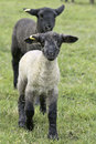 Black white baby lambs Stock Image