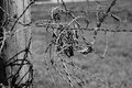 Black and white barbed wire close up of attached to a wooden pole all twisted up in Royalty Free Stock Photo
