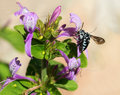 Black and white bee in bush a amongst purple ribbon flowers Stock Photography