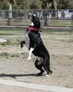 Black and white border collie catching a ball Stock Image