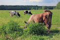 Black and white and brown cows with horns graze in the picturesq picturesque rural meadow forest view background Royalty Free Stock Photography