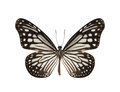 Black and White Butterfly isolated on white background Royalty Free Stock Photo
