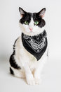 Black and white cat with black scarf this is called morpheus my it a from pet therapy for almost years it helps to combat stress a Stock Images