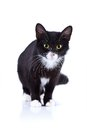 Black and white cat cat on a white background black cat house predator small predatory animal Royalty Free Stock Image