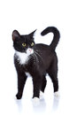 Black and white cat cat on a white background black cat house predator small predatory animal Stock Images