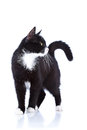 Black and white cat cat on a white background black cat house predator small predatory animal Stock Photo