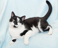 Black and white cat imposing on blue background Royalty Free Stock Photo