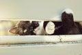 Black and White Cat Peeking Through Fence Royalty Free Stock Photo