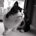 Black white cat sitting near window Stock Photography
