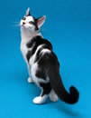 Black and white cat is standing on blue background Stock Photo