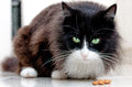 Picture : Black and white cat staring with big whiskers of suit