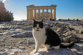 Black and white cat sunbathing in front of Parthenon east facade in Acropolis, Athens, Greece