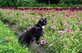 Black-and-white cat is walking on harness in urban park about flower beds in summer evening. Royalty Free Stock Photo