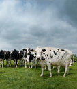 Black and white cattle in a field Royalty Free Stock Image