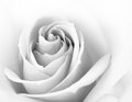 Black and White Close up Image of Beautiful Pink Rose. Flower Background Royalty Free Stock Photo