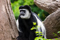 Black and White Colobus (Colobus guereza) Royalty Free Stock Photography