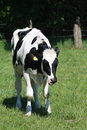 Black and white cow Royalty Free Stock Images