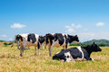 Black and white cows grazing in the farmland at menorca spain Stock Image