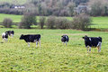 Black and white cows on the meadow photo of graze Stock Photo