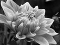 Black and white dahlia Royalty Free Stock Photo