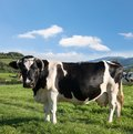 Dairy cow at countryside Royalty Free Stock Photo
