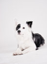 Black and white dog border collie mixed breed studio shot Stock Photography