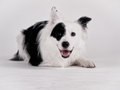 Black and white dog border collie mixed breed studio shot Royalty Free Stock Photo