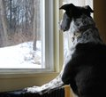 Black & White Dog Looks at snow out the Window Royalty Free Stock Photo