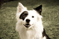 Black white dog meadow close up border collie mixed breed front view Stock Photography