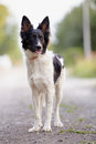 Black and white dog not purebred doggie on walk the not purebred mongrel Royalty Free Stock Images