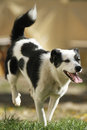 Black and white dog running with his tongue out Stock Images