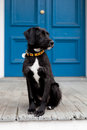 Black and white dog standing in front of blue door Royalty Free Stock Photo