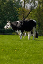 Black and white Dutch cow Royalty Free Stock Photos