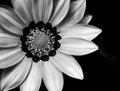 Black and white flower Royalty Free Stock Photo