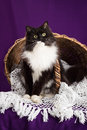 Black and white fluffy cat sitting on a lace veil near the basket. Purple background. Royalty Free Stock Photo