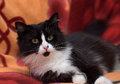 Black with white fluffy cat on the sofa Royalty Free Stock Image