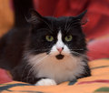Black with white fluffy cat on the sofa Royalty Free Stock Photography